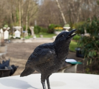crow4-rav01—3
